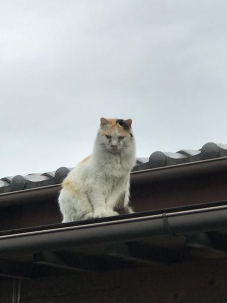 猫 ノルウェージャンフォレストキャット くーの写真