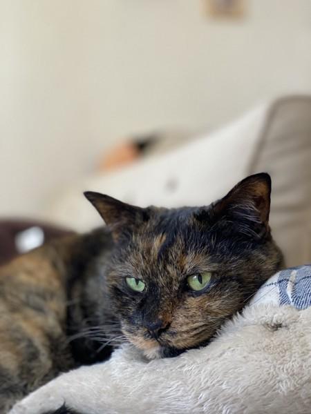 猫 雑種(ミックス) ちょこの写真