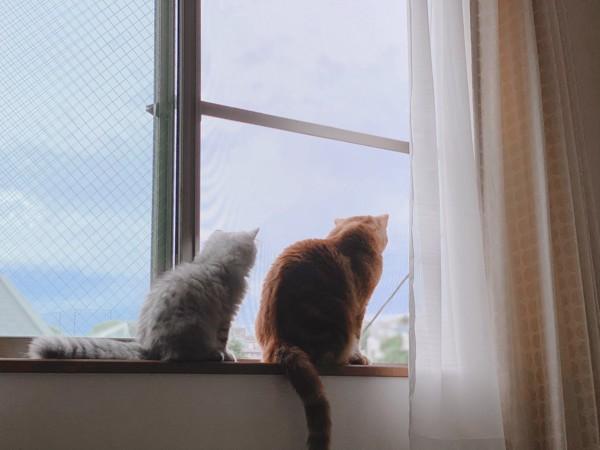 猫 アメリカンショートヘア ももとテンテンの写真