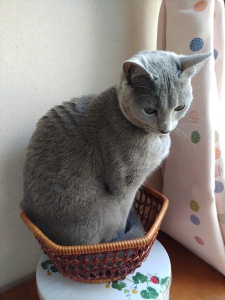 猫 ロシアンブルー グレーテルの写真