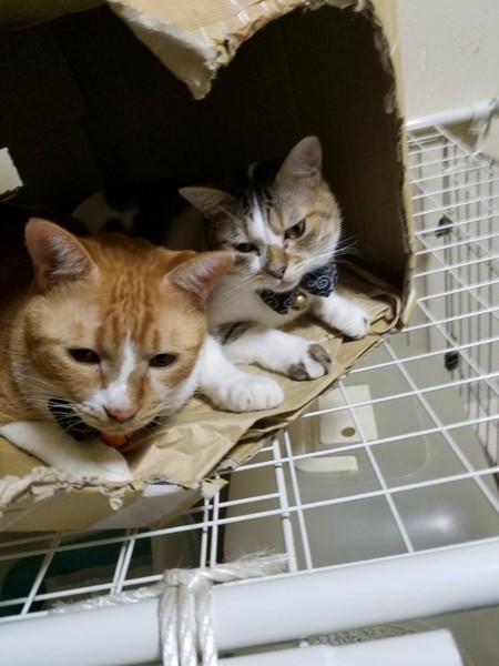 猫 茶トラ サスケ&ひまわりの写真
