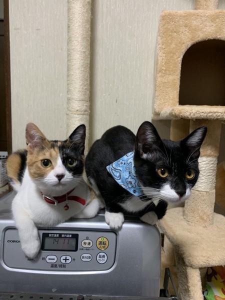 猫 三毛猫 モモ ユズの写真