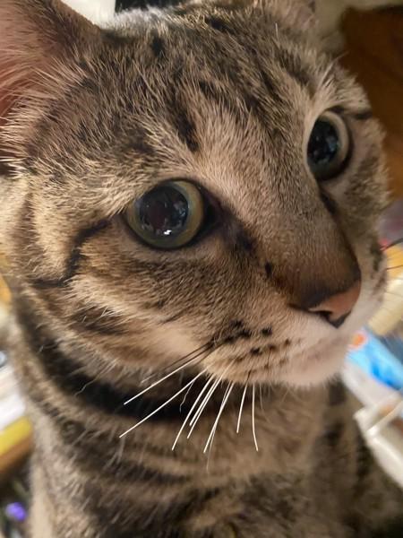 猫 サバトラ チビの写真