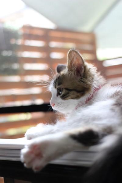 猫 ミックス りりの写真