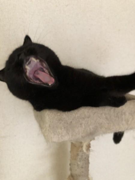 猫 スコティッシュフォールド ジジの写真