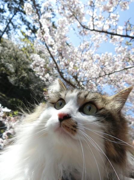 猫 雑種 のりこの写真