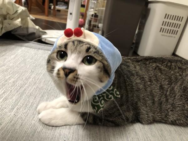 猫 キジシロ あんこの写真