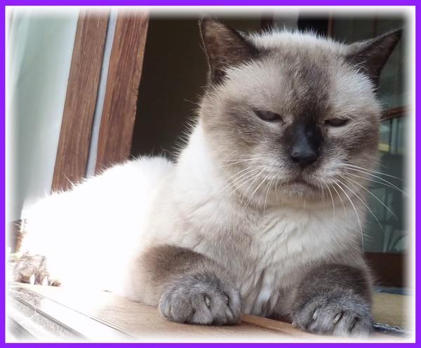 猫 雑種 コンチの写真