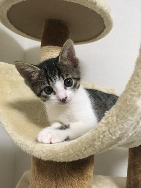 猫 キジシロ chocoの写真