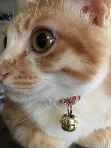 猫 茶白トラ むぎの写真