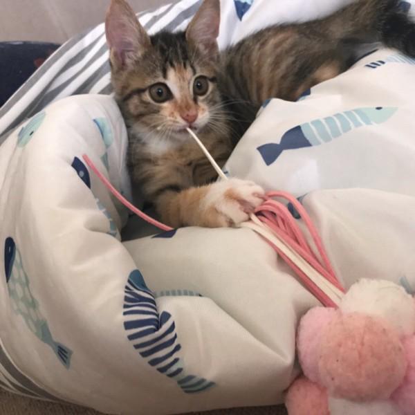 猫 三毛猫 茶々の写真