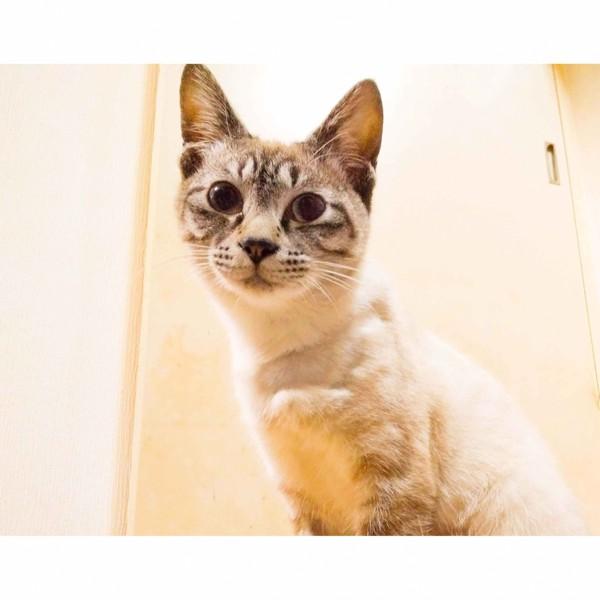猫 雑種(ミックス) シャルルの写真