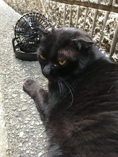 猫 黒猫 デカポンの写真