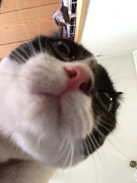 反省しているハチワレ猫