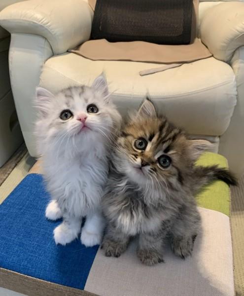 猫 ミヌエット チャコとレイの写真