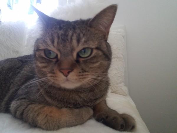 猫 キジトラ ぎんちゃんの写真