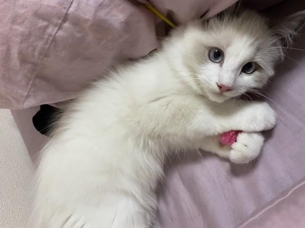 猫 ラグドール ここあの写真