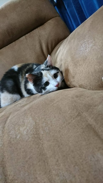 猫 スコティッシュストレート ぼたんの写真