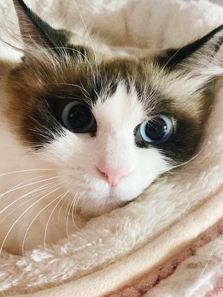 猫 ラグドール にゃーの写真