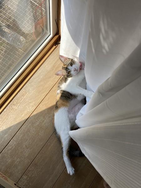 猫 三毛猫 リリィの写真