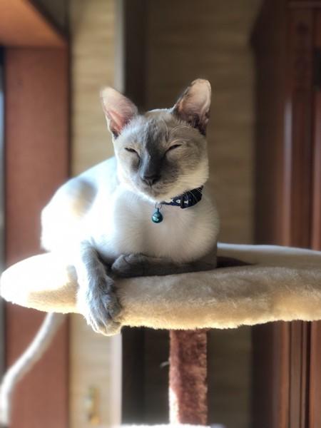 猫 シャム Abelの写真