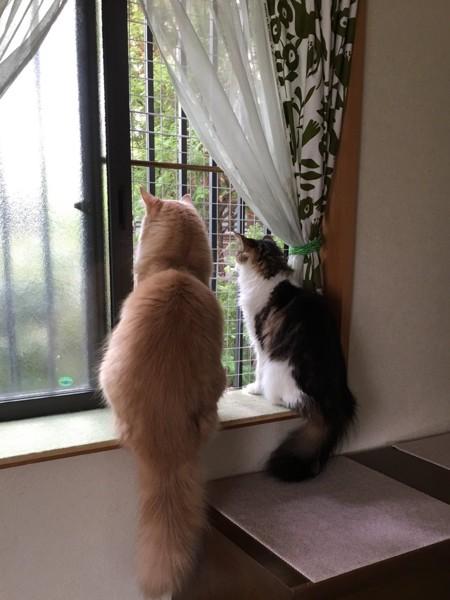 猫 メインクーン バロン&メイの写真