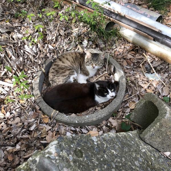 猫 雑種(ミックス) ポン、トラの写真