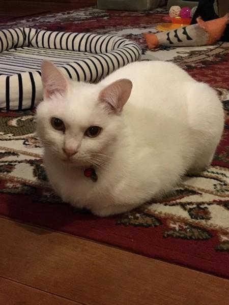 香箱座りする白い猫