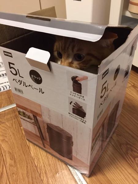 ダンボールに潜む猫