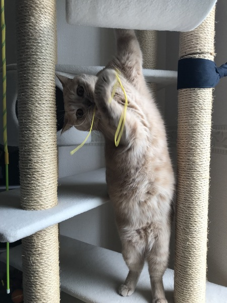 猫 ブリティッシュショートヘア 弦之介の写真