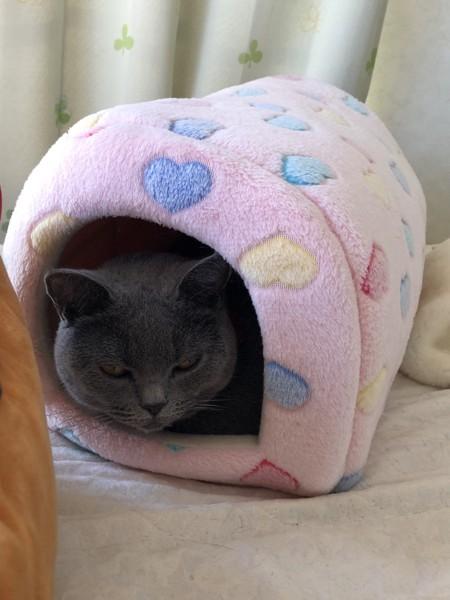猫 ブリティッシュショートヘア マツコの写真