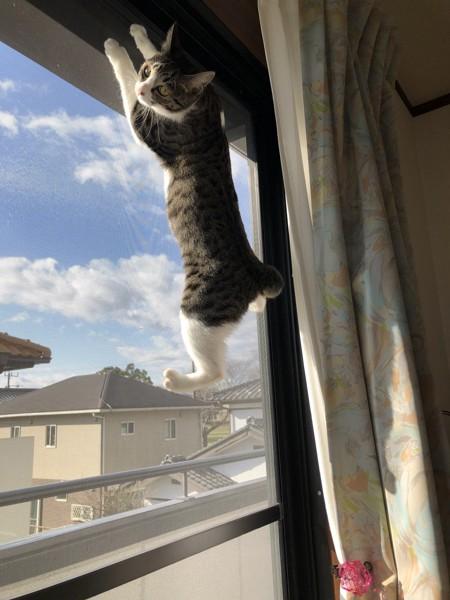 猫 キジシロ さくらの写真