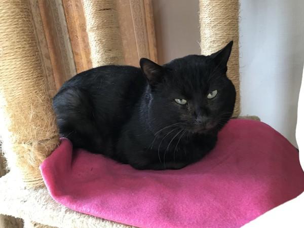 猫 黒猫 くろこの写真