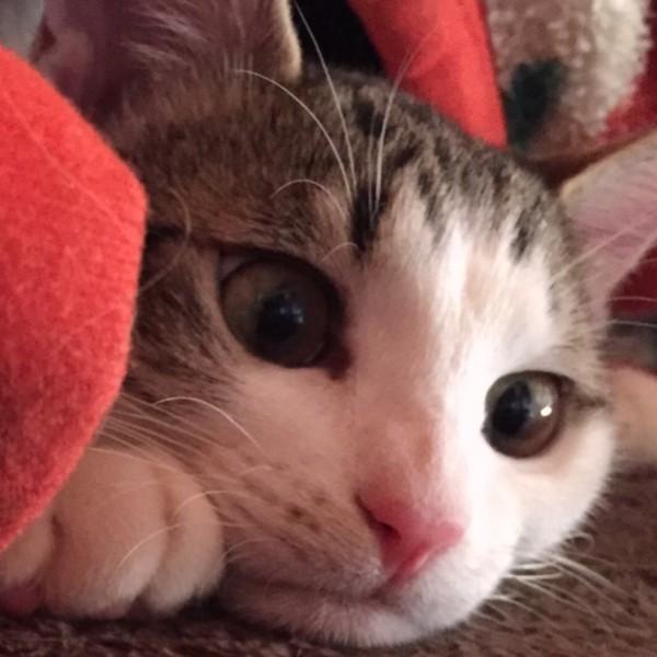 猫 キジトラ しろの写真