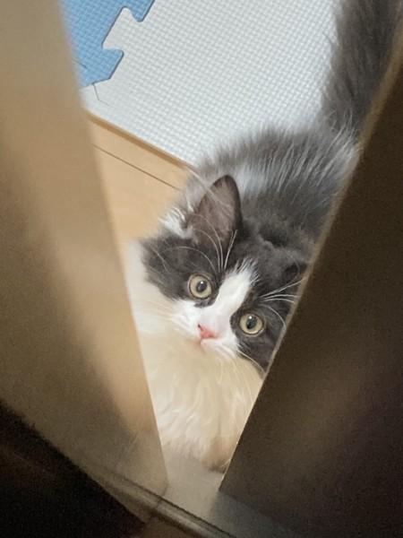 猫 サイベリアン もちまるの写真
