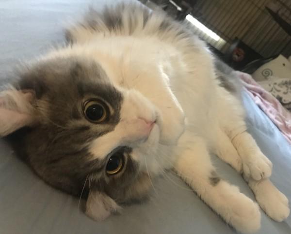 猫 アメリカンカール 虎吉の写真