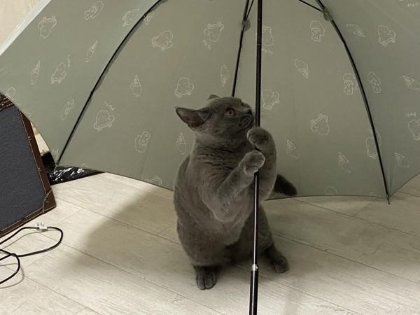 猫 ブリティッシュショートヘア ルコの写真
