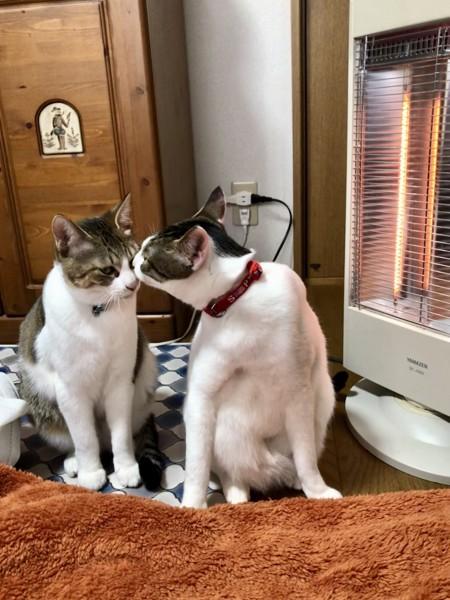 猫 雑種(ミックス) こうたろうとむぎの写真