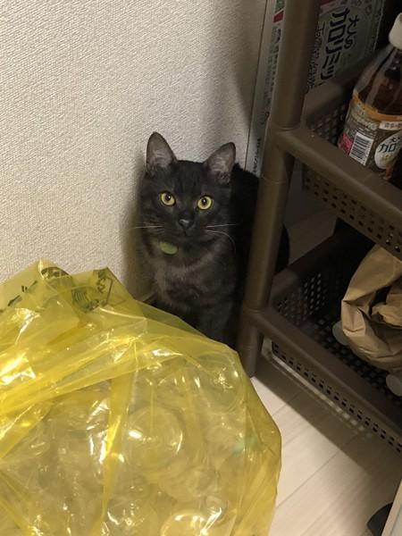 猫 黒トラ トラボルタの写真