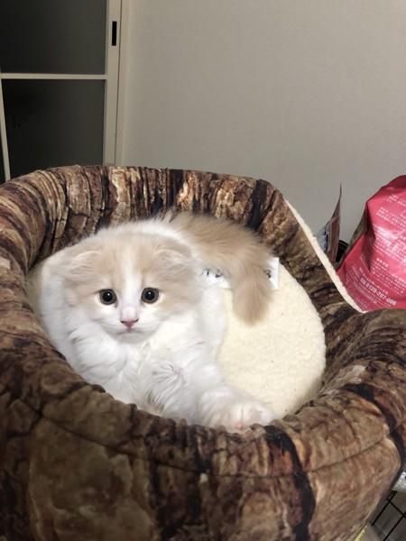 猫 スコティッシュフォールド ココアの写真