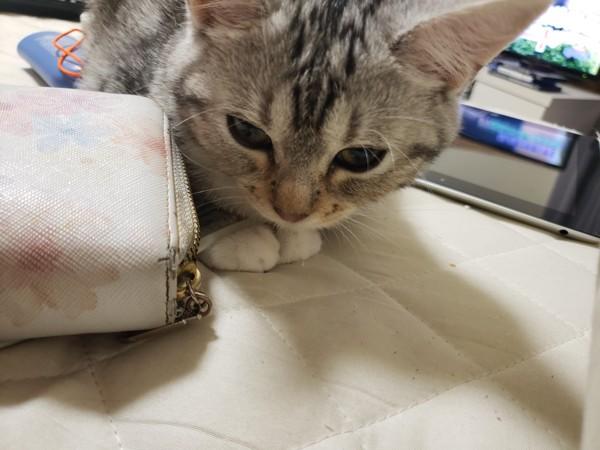 猫 マンチカン にゃんころの写真