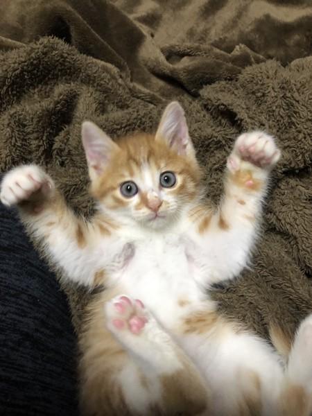 猫 茶トラ 紗流(シャル)の写真