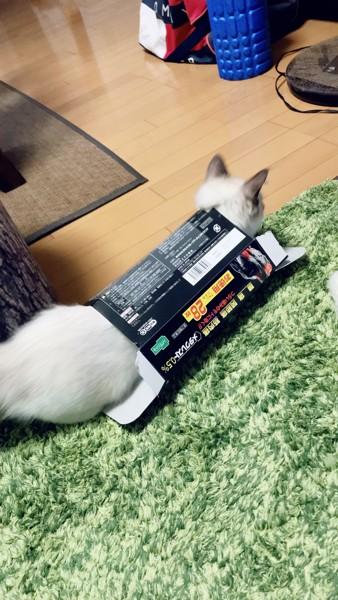 猫 ラグドール コロの写真