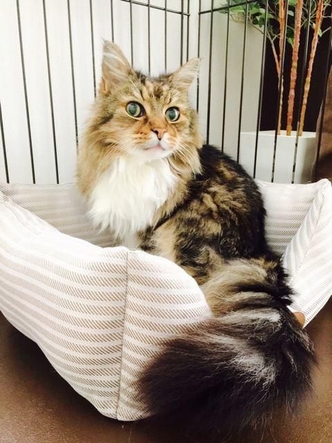 猫 メインクーン マックの写真