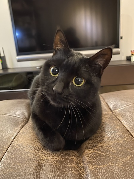 猫 黒猫 まろの写真