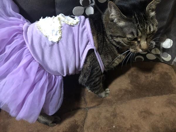 猫 キジトラ 島田麗那の写真