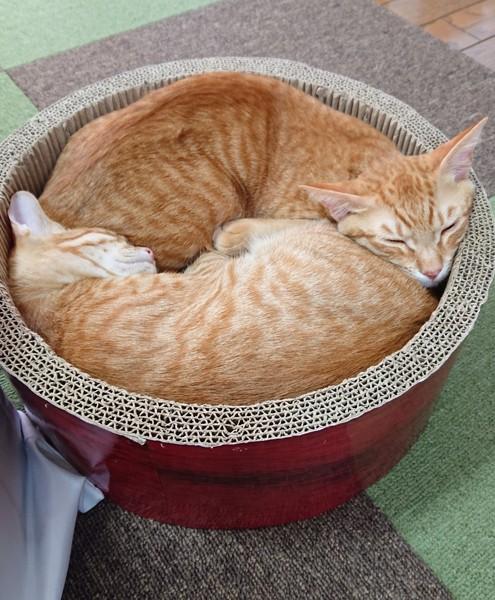猫 茶トラ ぷりんの写真