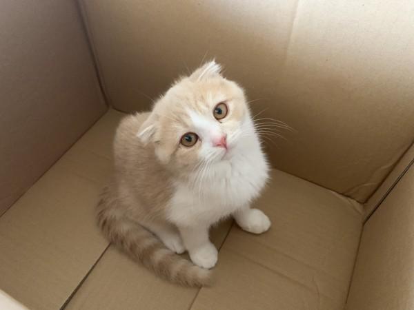 猫 スコティッシュフォールド くりんの写真