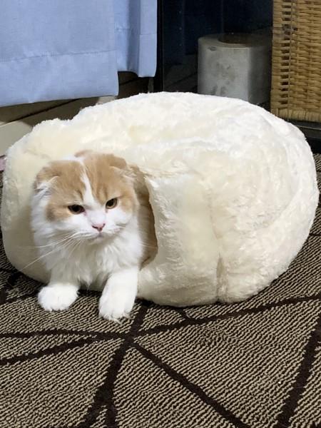 猫 スコティッシュフォールド てつじの写真
