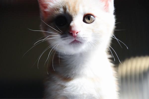 猫 茶トラ 茶々の写真